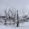 王林 りんご