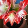 3つ開花中🌸