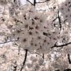 桜まつり始まりました!なお話です