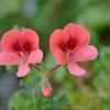 花盛りのベランダ2020 (3)