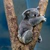 ☆コアラに餌をあげよう!!ブログのアクセスアップ方法について考えてみた