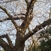 桜散歩にお花見散歩、そんな感じが好き!