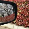 サイドミラーに映る桜を眺めながら。