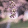 朝の桜:今日は桃の節句