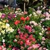 暑さに負けずバラは深い色合いを出しています