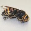 ヒメスズメバチを捕獲……ではなく回収!