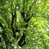 Mizunara-ミズナラ- ② 水楢の木を探して