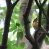 石神井公園の野鳥 ムギマキ・コチドリ他 2021年5月9日