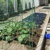 2・3年生:畑の野菜