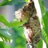 鳥の巣の経過・・・