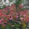 花、赤らめたノリウツギ。