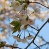 夏のような日差しの下、桜を求めて。。。