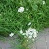 船橋本日36.8度、それでもニラの花が咲く