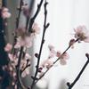 啓翁桜の後はリビングにハナモモ、ミノムシには注意?