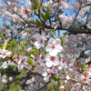 今日の1枚 ~夙川公園の桜 ver.2~