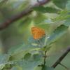 8/6/2017・炎天下の雑木林に入ってムモンアカシジミを見てきました