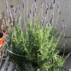 ラベンダー満開!花茎を剪定しました|ベランダで鉢植えラベンダー『スーパーサファイアブルー』栽培