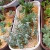 🌵雨の日の多肉植物② 木立プレビフォリウム他🌵