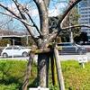 熊本の桜「開花」標本木はJR熊本駅近く、合同庁舎敷地内のソメイヨシノ🌸