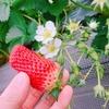 苺いちごストロベリー