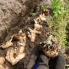 ひとはな農園たより「ショウガとミニトマトの植え付けしたよ」