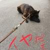 甲斐犬サン、主張する!の巻〜嫌ッタライヤッ\\\٩(๑`^´๑)۶////