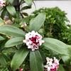 【我が家に春の訪れ】 ジンチョウゲ、ミモザの開花