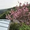 五年後も二十年後も八重桜