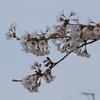 桜の花びらを落とすスズメ