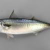釣旅、フィッシングトラベラー(伊豆大島で釣れる魚 ―マサバ・イサキ―)