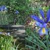 4月徒然ブログ 今年もキンランが咲いていた。