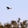 葛西臨海公園上空を飛ぶチュウヒ