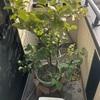 【レモン栽培】ベランダ栽培に適した形に大胆に剪定する!