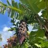 ハワイの友人宅のバックヤードにある果物たち。
