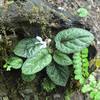 コミヤマスミレ  卵型の葉がびっくりするくらいきれい