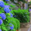 紫陽花④ 雨上がりの夕方