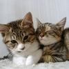 猫の里親になりたい!先住猫との相性は大丈夫?