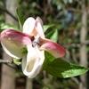 ハナミズキの花は花じゃない問題