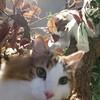 【猫カフェ情報】大分県にあるノルウェージャンフォレストキャット専門の猫カフェの魅力