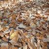 落ち葉を踏み踏み歩く。