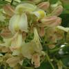 (402) Styphnolobium japonicum