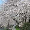 横浜の桜の開花状況!穴場の桜スポットに出没!(桜木町・戸部エリアのサクラ)