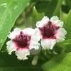 ヘクソカズラ(屁糞葛)の花