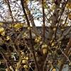 大晦日 見事な蝋梅(ロウバイ)の木♪