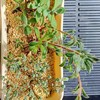 🌵多肉植物  秋の植え替え作業⑫🌵