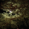 夜桜(写真日記/写真日記花)