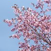 NIKON Df 桜の続き