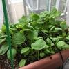 プランターで育てた小松菜の成長記録~9月種植え編~