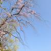河津桜からバトンタッチ