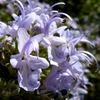 這性ローズマリーの花 2013春